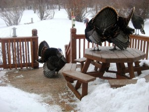 Three wild turkeys display on the picnic table.