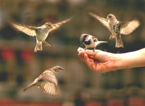 Hand surrounded by four flying house sparrows